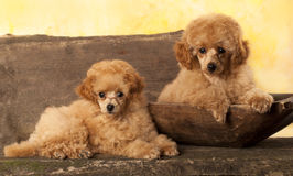 Red Toy Poodle puppy Royalty Free Stock Images