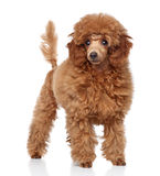Red Toy Poodle puppy (five months) Stock Images