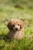 Red toy poodle puppy Stock Images