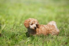 Red toy poodle puppy Stock Image