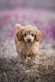 Red toy poodle puppy Stock Photography