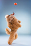 Red Toy Poodle puppy playing with a ball on gray Stock Photo