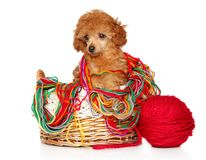 Red Toy Poodle puppy sits in wicker basket. Toy Poodle puppy sits in wicker basket with a ball of thread posing on a white background. Baby animal theme royalty free stock image