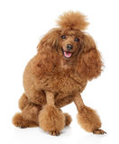Red toy poodle puppy on white background Stock Image
