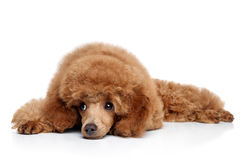 Poodle puppy resting on a white background Royalty Free Stock Image