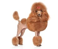 Red Toy-Poodle on a white background Royalty Free Stock Photo