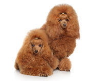 Red Toy poodles Stock Image