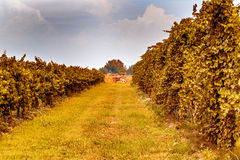 Red tractor in the vineyards Stock Image