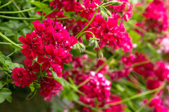 Red trailing pelargonium close up Royalty Free Stock Photography