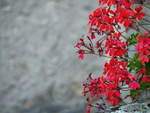 Red trailing pelargoniums and gray wall, Italy. stock image