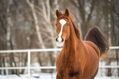 Red Trakehner horse runs gallop in winter time Stock Photo
