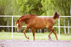 Red Trakehner horse runs trot on the green background Royalty Free Stock Photo