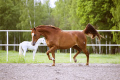 Red Trakehner horse runs trot on the green background. Red Trakehner horse runs trot on the nature background Royalty Free Stock Photos