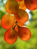 Red transparent grapes Royalty Free Stock Photos