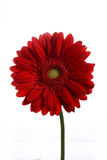 Red Transvaal daisies. On a white background Stock Photo
