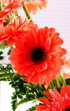 Red Transvaal daisy Stock Image