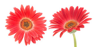 Red transvaal daisy Stock Photo