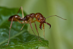 Red trap-jaw ant. Macro shot of a red trap-jaw ant on green leaf royalty free stock photo