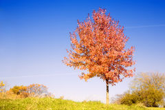 Red tree. Fall scenery: lonely tree with changing leaves with clear blue sky in the background Royalty Free Stock Photo