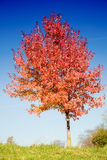 Red tree. Fall scenery: lonely tree with changing leaves with clear blue sky in the background Stock Images