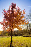 Red tree. Fall scenery: lonely tree with changing leaves with clear blue sky in the background Royalty Free Stock Image