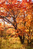 Red tree. Tree with color autumn foliage Royalty Free Stock Photography