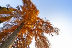 Big tree with red leaves. Mighty tree with red leaves stands out against the autumn blue sky stock image