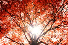 Red Tree. Stock Photography