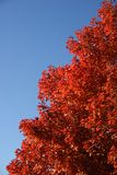 Red tree. Red fall tree against blue sky Stock Images