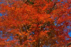 Red tree. Red autumn leaves in blue background Stock Photography