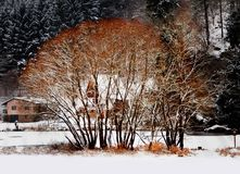 Red tree on the banks of the frozen river in winter Royalty Free Stock Photography