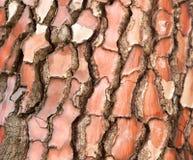 Red tree bark close-up Royalty Free Stock Photo