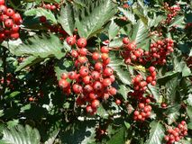 Red Tree Berries Royalty Free Stock Photos