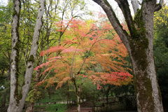 Red tree Royalty Free Stock Photography
