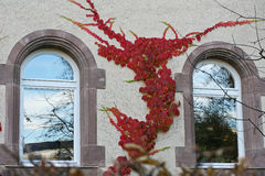 Red tree branches over windows. Red tree ivy branches over windows Stock Image