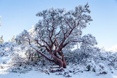 Red tree covered by snow Royalty Free Stock Photo
