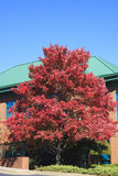 Red Tree in Fall by Building with Green Roof Royalty Free Stock Photo