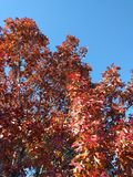 Red tree in fall Royalty Free Stock Image