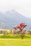 Red tree in the field. A idyllic meadow or golf course in a sunny beautiful morning Stock Photography