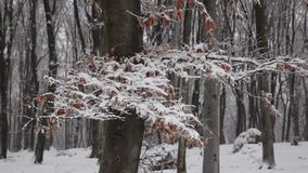 Red tree in the fog forest winter. Red tree in fogy and scary forest winter stock video footage