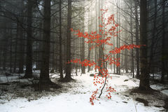 Red tree in the fog forest winter Stock Image
