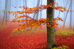 Red tree in a foggy autumn forest Royalty Free Stock Photo
