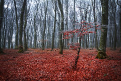 Red tree in the fogy forest Royalty Free Stock Image