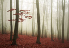 Red tree in the fogy forest Stock Image