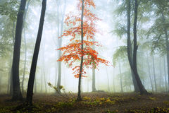 Red tree in the forest. Royalty Free Stock Photo