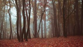 Red tree in the forest with nature sounds. Red tree in the fogy forest autumn with nature sounds stock video