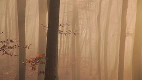 Red tree in the forest with nature sounds. Red tree in the fogy forest autumn with nature sounds stock footage