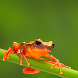 Red tree frog climbing Royalty Free Stock Image