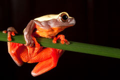 red tree frog tropical amazon rain forest big eyes royalty free stock photo