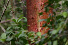 Red tree in green leaves Royalty Free Stock Photos
